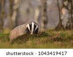 beautiful european badger ... | Shutterstock . vector #1043419417