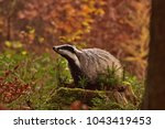 beautiful european badger ... | Shutterstock . vector #1043419453