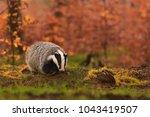 beautiful european badger ... | Shutterstock . vector #1043419507