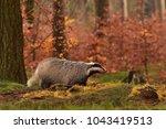 beautiful european badger ... | Shutterstock . vector #1043419513