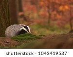 beautiful european badger ... | Shutterstock . vector #1043419537