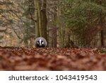 beautiful european badger ... | Shutterstock . vector #1043419543