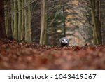 beautiful european badger ... | Shutterstock . vector #1043419567