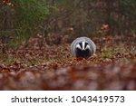 beautiful european badger ... | Shutterstock . vector #1043419573