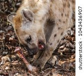 spotted laughing hyena eating... | Shutterstock . vector #1043436907