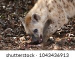 spotted laughing hyena eating... | Shutterstock . vector #1043436913