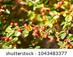cotoneaster bush  branch with... | Shutterstock . vector #1043483377