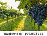 grape harvest italy | Shutterstock . vector #1043515363