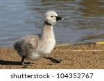 Black Swan Cygnet Walking