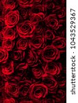 Stock photo fresh red roses isolated on a black background vertical greeting card with roses 1043529367