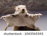 small flying squirrel | Shutterstock . vector #1043565343