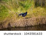 a brilliantly feathered  purple ...   Shutterstock . vector #1043581633