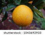 mediterranean orange garden. ... | Shutterstock . vector #1043692933
