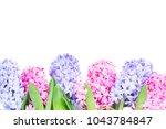 Hyacinth Pink And Blue Fresh...