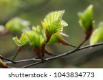 Beech Leaves Bloom On  L Nebur...