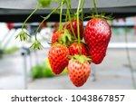 mold strawberry  food botrytis... | Shutterstock . vector #1043867857
