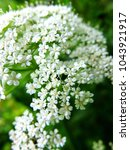 Small photo of White achillea millefolium flowers in full bloom close-up natural background