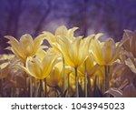 beautiful yellow tulips in the...   Shutterstock . vector #1043945023