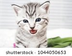 Stock photo the kitten meows shouts purebred kitten baby kitten 1044050653
