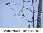 ceiba pentandra or 'buah kekabu'... | Shutterstock . vector #1044102703