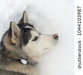 Small photo of Husky dog in the snow closeup brooding view