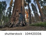 Sequoia - stock photo