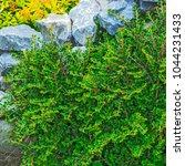 Garden Shrub Of Cotoneaster...