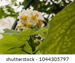 Small photo of Sparrmannia Africana, are commonly known as African hemp, African linden