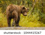 Small photo of Huge alaskan bear leavaing and giving bye-bye