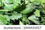 parsley leaf. green parsley.... | Shutterstock . vector #1044431017