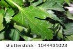 parsley leaf. green parsley.... | Shutterstock . vector #1044431023
