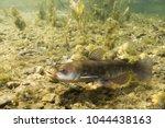 Small photo of Brown Bullhead Catfish, Ameiurus nebulosus underwater photography. Freshwater fish in clean water and nature habitat. Natural light. Lake and river habitat. Wild animal.
