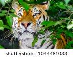 amur or siberian tiger ... | Shutterstock . vector #1044481033