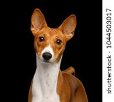 Small photo of Close-up Humanity Portrait White with Red Basenji Dog Stare on Isolated Black Background, Font view
