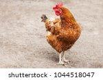 red chicken hen outside walking ...