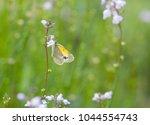 dainty sulphur butterfly posing ... | Shutterstock . vector #1044554743