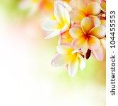 frangipani plumeria flowers... | Shutterstock . vector #104455553