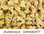 Small photo of Acaena buchananii evergreen plant background