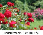 Stock photo close up of garden rose 104481323
