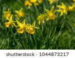 many yellow daffodils in spring ... | Shutterstock . vector #1044873217