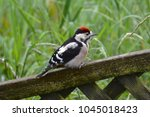 young great spotted woodpecker   Shutterstock . vector #1045018423