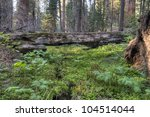 Mossy log in the Giant Forest at Sequoia National Park. - stock photo