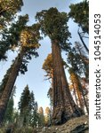 sequoias in the giant forest at ...