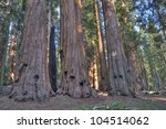 Sequoias in the Giant Forest at Sequoia National Park. - stock photo