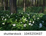 primroses in the beech forest.... | Shutterstock . vector #1045253437