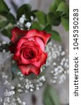 single red rose with gypsophila ... | Shutterstock . vector #1045350283