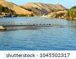 Small photo of Moorhens on the Nile river near Cairo with a dune bottom of the Sahara desert and tourist boats. In the background the tomb of the Aga Khan