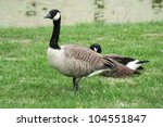 Canada Goose. Pair Of Geese On...