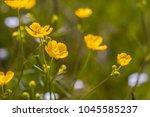 beautiful springtime buttercups ... | Shutterstock . vector #1045585237