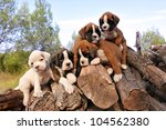 five purebred puppies boxer on the wood - stock photo